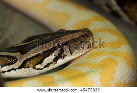 Diamond Python Morelia spilota head detail shot - stock photo