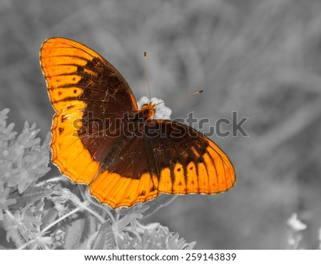 Diana butterfly on Butterflyweed, color spot on black and white - stock photo