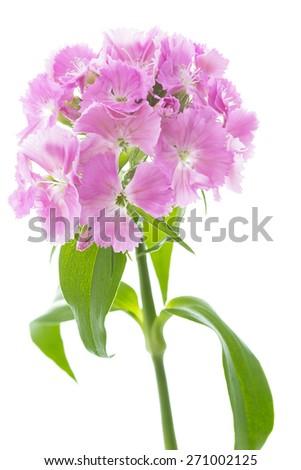 Dianthus Barbatus flowers on white background - stock photo