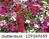 dianthus barbatus for ground cover - stock photo