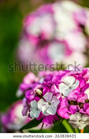 Dianthus barbatus (Sweet William) is a species of Dianthus native to southern Europe and parts of Asia which has become a popular ornamental garden plant. - stock photo
