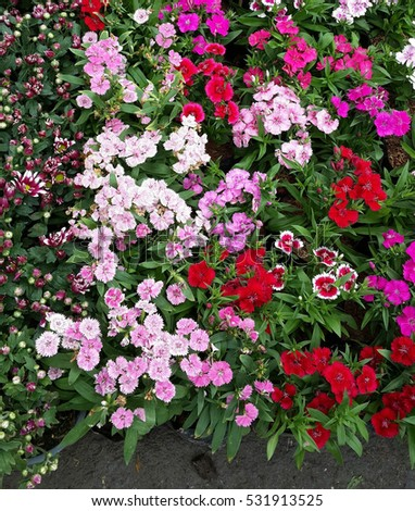 Dianthus, colorful flowers, sold at flower market.