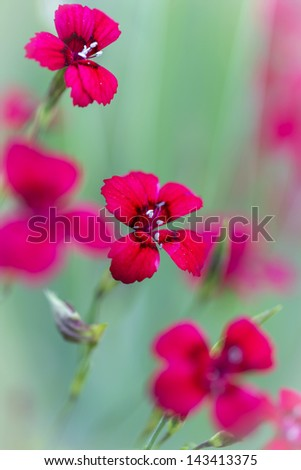 Dianthus deltoides flower with shallow DOF - stock photo