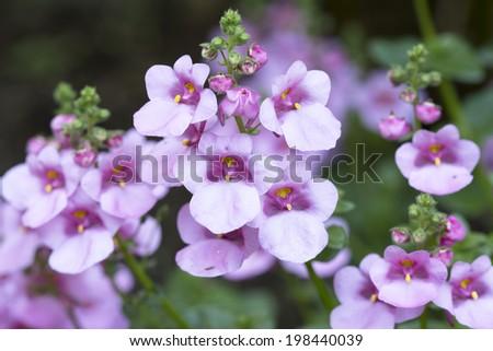 Diascia flower in the garden, closeup - stock photo
