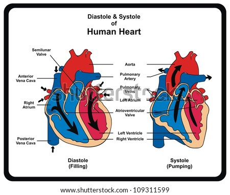 Diastole & Systole (Filling & Pumping) of Human Heart - stock photo