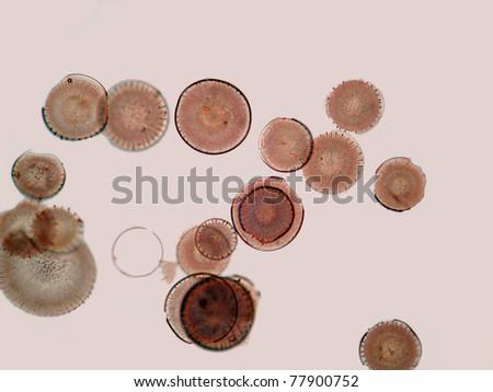 Diatoms from Myiagi-ken, Japan.  Magnification 100x - stock photo