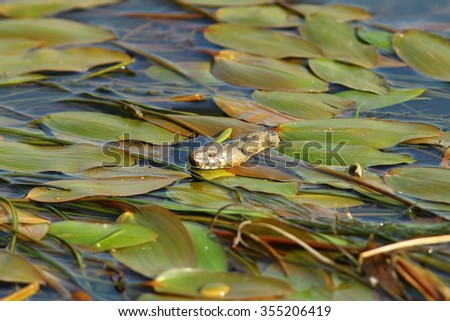 dice snake hiding amongst water lilies, searching for frogs ( Natrix tessellata ) - stock photo