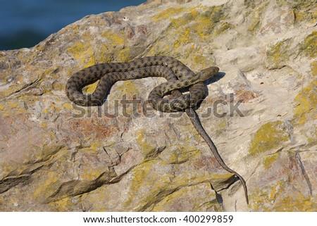 Dice snake (Natrix tessellata) in natural habitat - stock photo