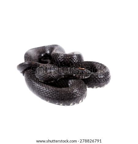 Dice snake, Natrix tessellata, on white - stock photo