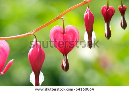 Dicentra - Bleeding Heart Flowers - stock photo