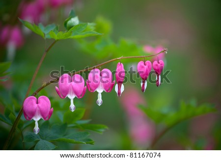 Dicentra - Bleeding Heart Flowers - stock photo