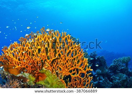 Dichotomy fire coral (Millepora dichotoma) in the Red Sea, Egypt.  - stock photo