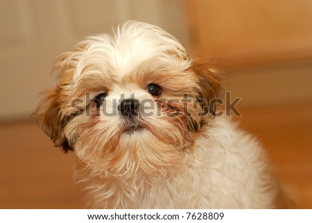 Did I Do Something Wrong? - A shih tzu puppy with a worried expression on her cute furry face. - stock photo