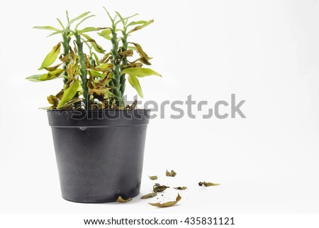 Died plant in black plastic pot on white background. Died leaf fall from plant on floor. Copy space.