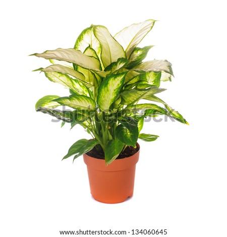 dieffenbachia grows in flowerpot isolated on white - stock photo