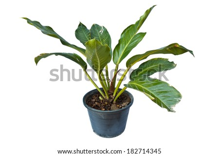 Dieffenbachia in potted in thailand, isolated on white