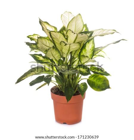 dieffenbachia isolated - stock photo