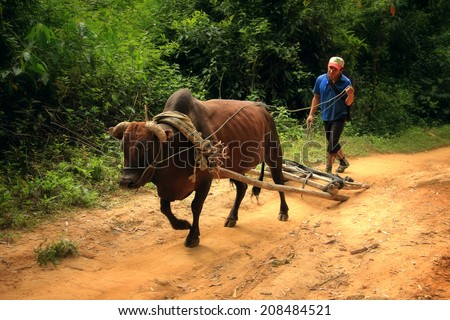 Dien Bien Phu, Dien Bien, Vietnam August 1, 2014: A farmer uses a cow as a means of transporting agricultural products.