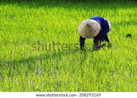 Dien Bien Phu, Vietnam July 10, 2014: A farmer working on Muong Thanh field.