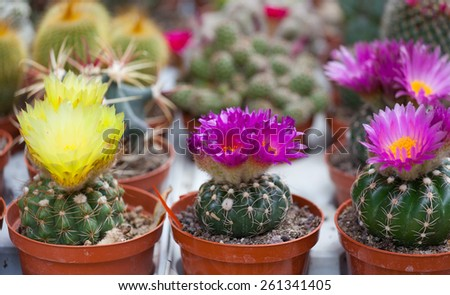 different blossoming cactuses on a show-window of flowers shop - stock photo