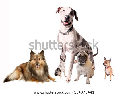 Different breeds of dogs like Chihuahuas, Great Dane, Sheltie, and Pug sitting together on a white background - stock photo