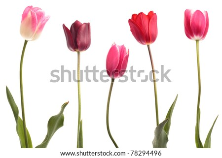 Different color tulips isolated on white background - stock photo
