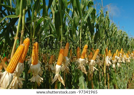 different corn plantation - stock photo