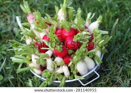 different grades of a farmer radish in a metal sieve