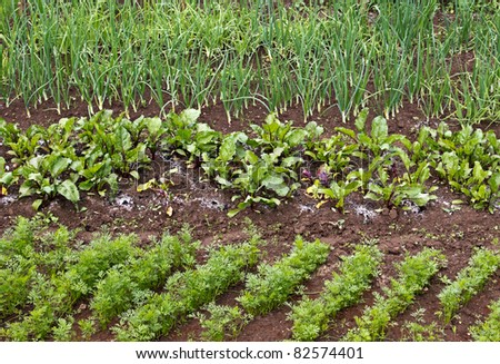 Different green vegetable seedlings growing in rows - stock photo