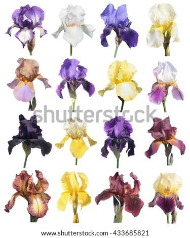 Different irises isolated on white background. Iris flower. Set of flowers isolated on white - stock photo