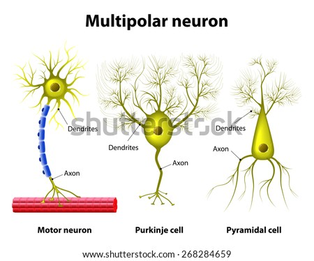 Different kinds of a multipolar neurons: pyramidal cell, Purkinje cell and motor neuron. Human anatomy - stock photo