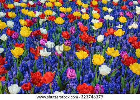 Different Kinds of Tulips among Muscari Flowers - stock photo