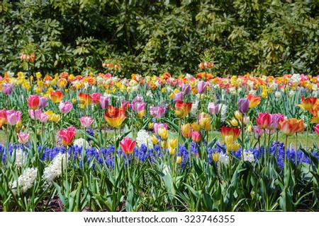 Different Kinds of Tulips and Muscari Flowers - stock photo