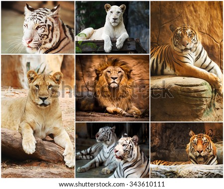Different lion, tiger, white collage in the zoo - stock photo