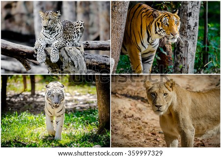 Different lion, tiger, white , yellow collage in the zoo - stock photo