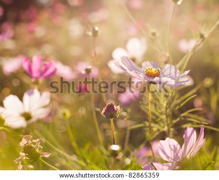 Different pink cosmos flowers closeup - stock photo