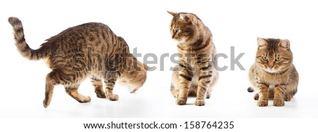 Different poses of striped cat isolated on white background - stock photo