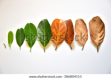 Different stages of life - Birth to death. Concept of Aging, growth, death. Age and disease creep on us all. Leaves of different age of jack fruit tree (Artocarpus heterophyllus) on white background - stock photo