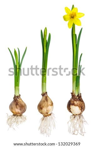 Different stages of the growth of a narcissus isolated on a white background - stock photo