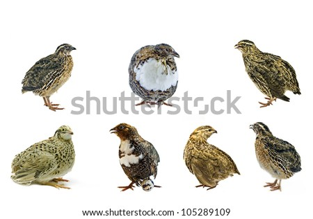 Different strains of domesticated quails - stock photo