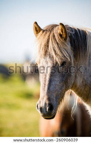 Differents horses on a pasture, Iceland - stock photo