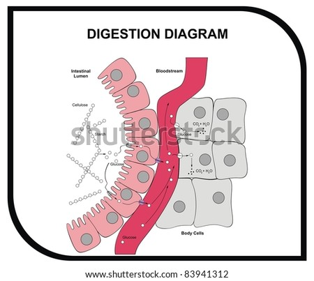 Digestion Diagram - Abdominal Tissue - Medical and Educational - stock photo