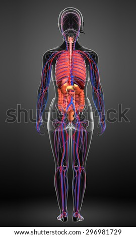 Digestive and circulatory system of female body artwork  - stock photo