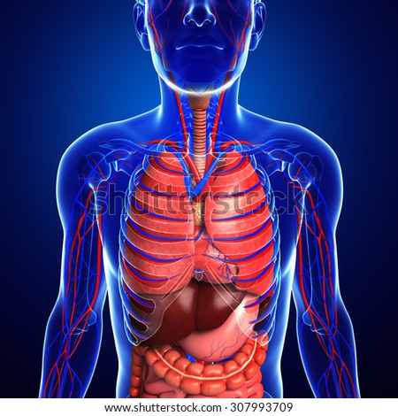 Digestive and circulatory system of male - stock photo
