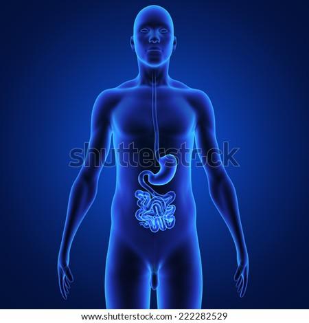 Digestive system - stock photo