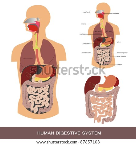 Digestive system, detailed medical illustration. - stock photo