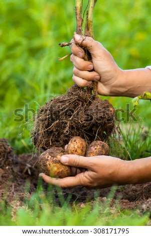 digging bush potato in hand - stock photo