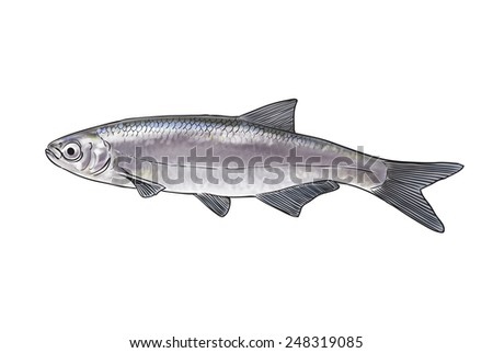 Digital illustration of freshwater fish, bleak