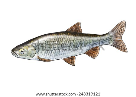 Digital illustration of freshwater fish,chub