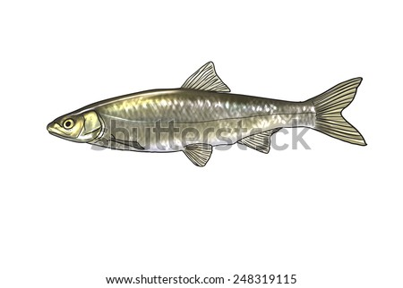 Digital illustration of freshwater fish, common nase